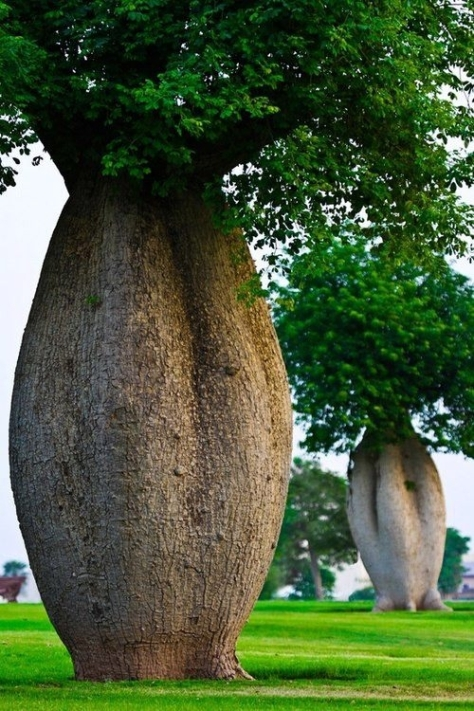 Árvore Toborochi (Japão)