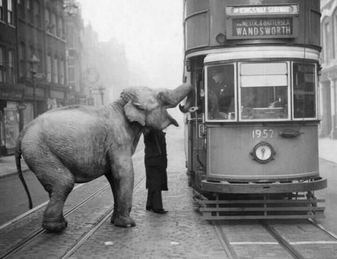 An Elephant stops a tram on Gray's Inn Road, London, to eat an apple from the driver. December 1936. History in Pictures.