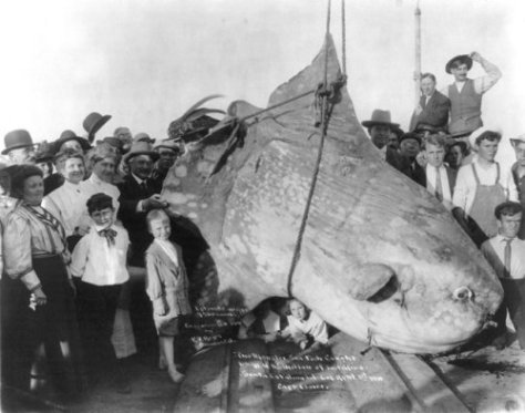 A sunfish with an estimated weight of 1600 kg caught in 1910, at Santa Catalina Island, California. Old Pics Archive.