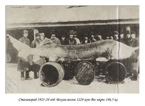 Sturgeon weighing 1,224 kgs, taken from the Volga River in 1921. Old Pics Archive.
